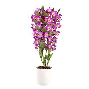 Dendrobium»Comet King Akatsuki» | Orchidée violette | Hauteur 50-60cm | Pot Ø 12 cm