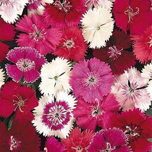 AGROBITS Fleur – Dianthus – Festl Mixte F1-20 Voir Granulé