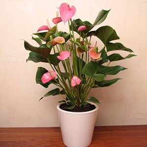 Anthurium Pink Champion – 1 plante