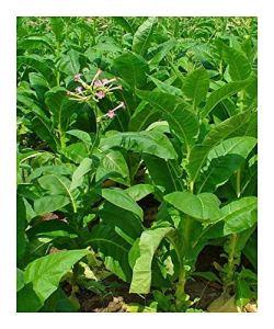 Burley Tobacco Nicotiana tabacum – Burley Tabac – 100 graines