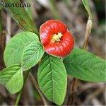 Ms Agro Zgtglad Lot de 50 graines de Fleurs rares Rouge à lèvres Plante Fleur de Jardin Décor Bonsaï