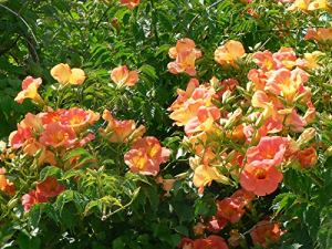 Bignone Grandiflora C 1 Litre