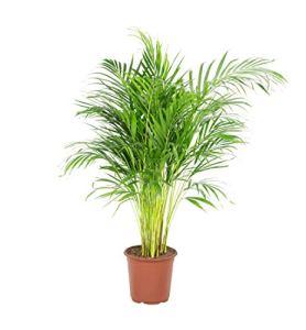 Palmier | Plante verte | Plante intérieur | Hauteur 100 cm | Pot 21 cm | Areca dypsis lutescens