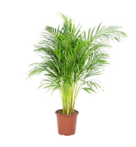 Palmier   Plante verte   Plante intérieur   Hauteur 100 cm   Pot 21 cm   Areca dypsis lutescens