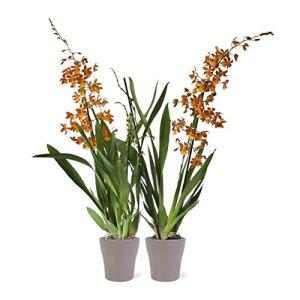 Orchidées de Botanicly – 2 × Orchidée orange en pot de fleur brun comme un ensemble – Hauteur: 60 cm, 2 pousses, fleurs d'oranger – Cambria Burrageara Catatante