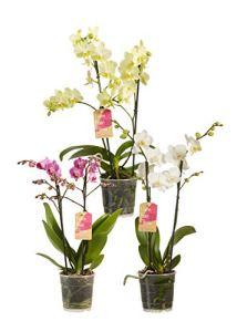 Orchidées de Botanicly – 3 × Orchidée papillon couleurs différentes – Hauteur: 50 cm, 2 pousses, fleurs blanches – Phalaenopsis multiflora