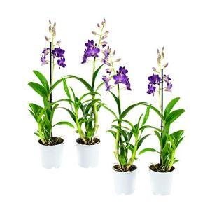 Orchidées de Botanicly – 4 × Dendrobium Sa-Nook – Hauteur: 55 cm, 1 pousse