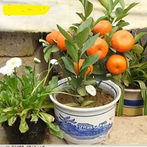 10pcs / sac Balcon Patio Potted Fruitiers Graines Plantées Kumquat Graines d'Orange Seeds Tangerine Citrus