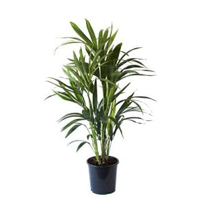 Plante d'intérieur | Plante verte naturelle | Palmier Kentia | Hauteur 90-110 – 125 cm | Entretien facile (90, Sans cache pot)