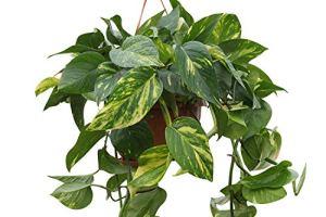 Plante d'intérieur – Plante pour la maison ou le bureau – Scindapsus aureus – Lierre du diable – Dans un pot suspendu
