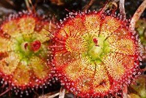 RWS Drosera sessilifolia 10 graines, plante carnivore, Drosera