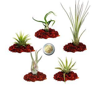 5 Mini-Tillandsias différentes – extra petites