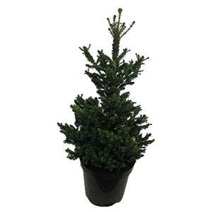Arbre de Botanicly – Picea abies Wills Zwerg – Hauteur: 70 cm