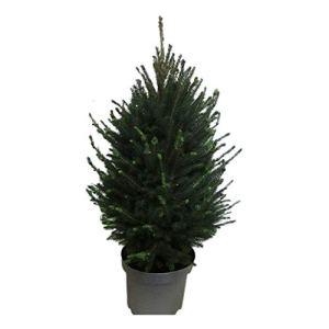 Arbre de Botanicly – Picea glauca Super Green – Hauteur: 90 cm