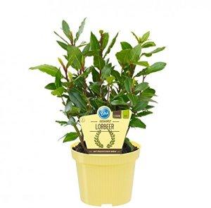 Bio Ours à épices (Laurus nobilis), plantes aromatiques en culture durable 3 Pflanzen, je im 12cm Topf
