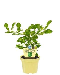 Citron vert citron, citron hystrix), plantes aromatiques issues de cultures durables (1 plante, chacune dans un pot de 12 cm).