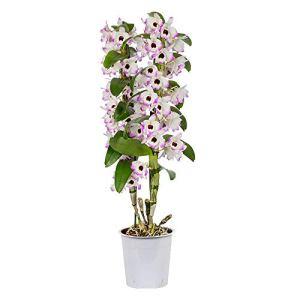 Dendrobium Nobile «Lucky Bird» | Orchidée rose-blanc | Plante tropicale d'intérieur | Plante purificatrice d'air | Hauteur 50-60cm | Pot de Ø 12cm
