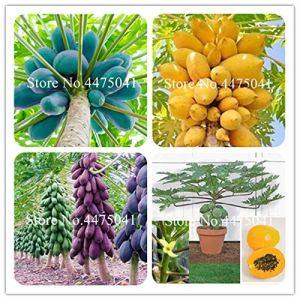 Generic frais 10 pcs graines de papaye graines pour la plantation de couleur mixte 2