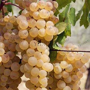 Generic Fresh 60pcs graines de raisin pour la plantation de blanc