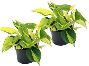 Liertute, Scindapsus, (épiprnum aureum) variétés : Brasil, feuilles jaunes et vertes multicolores, végétal, plante de diffusion, purificateur d'air (lot de 2 dans un pot de 12 cm)