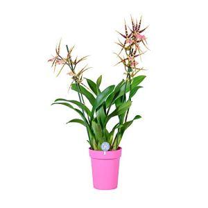 MoreLIPS@ – Brassia Shelob Tolkien foncé en pot de céramique rose – hauteur 45-55 cm – diamètre du pot: 14 cm – Your Green Present