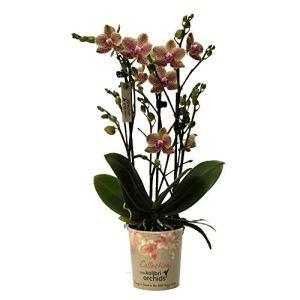 Phalaenopsis Orange | Orchidée orange-rouge | Plante tropicale fleurie | Hauteur 35-40cm | Pot de ø 9cm