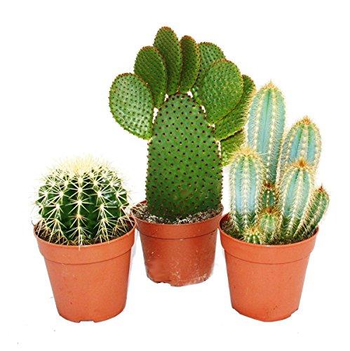 3 cactus plus gros différents dans un ensemble, pot de 12cm, env. 15-28cm de haut