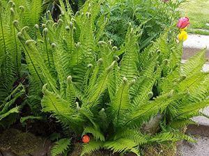 3 x Matteuccia struthiopteris (herbe d'ornement/herbes/fougère) couleur d'autruche