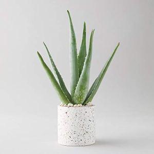 Aloe Vera Plante Grande plante d'environ 30 cm avec pot pour la maison ou le bureau