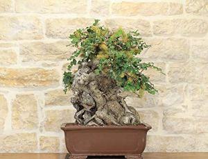 Carob bonsai tree (39)