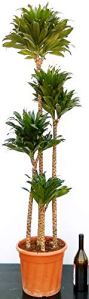 DRACENA COMPACTE XXL, hauteur 160/170 cm, plante véritable