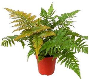 Dryopteris erythrosora – Fouet hivernale – 12 cm – Plante de balcon – Plante d'ombrage