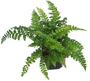 Fougère japonaise – Polystichum Polyblepharum – Durcisseur d'hiver, persévérant, fougère – Pot de 12 cm – Plante de balcon – Plante ombragée