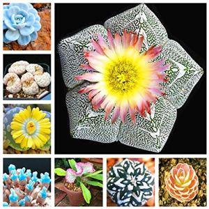 Kalash New 150 pcs Succulent graines de plantes Lithop pour jardinage mélangés 4