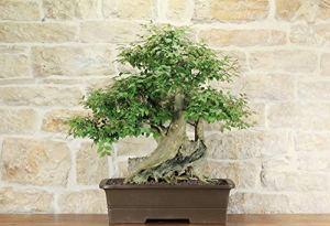 Lagerstroemia bonsai tree (17)