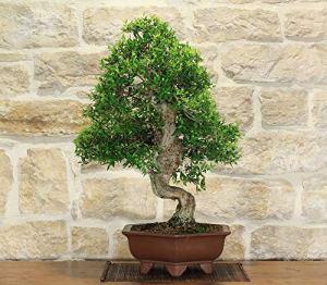 Pumila Myrtle bonsai tree (25)