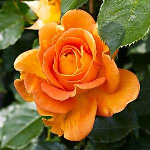 Rosa Jamie | Fleurs oranges | Rosier grimpant à planter | Racines nues | Hauteur 22cm