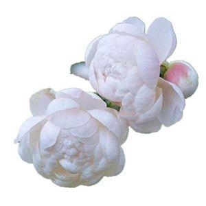 Rose rose, lapin blanc, parfum fruité, parfum riche, floraison toutes saisons, 300 gélules