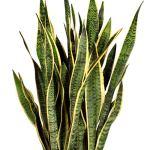 Sansevieria trifasciata «Laurentii» XL   Langue de belle-mère   Plante verte d'intérieur   Hauteur 80-90cm   Pot Ø 21 cm