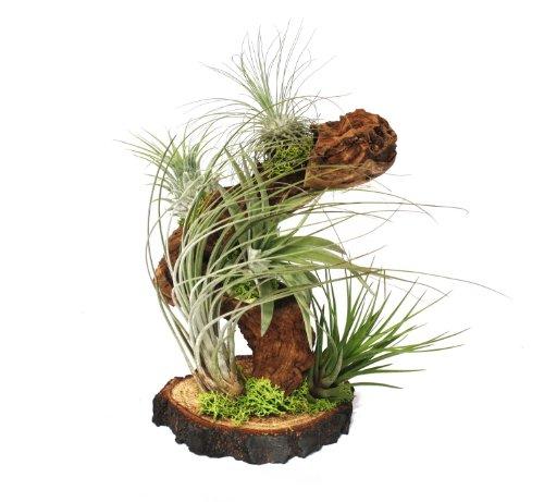 Tillandsias sur les plantes racine arbre – big – 5