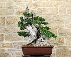 Wild Olive bonsai tree (162)