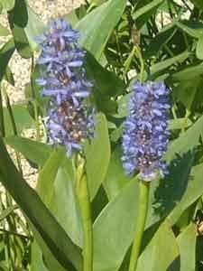 2 Plantes Pontédéries Pontederia Cordata Plante L'Étang Plante Aquatique Jusqu'à 30cm Niveau, Plantes de Naturteich