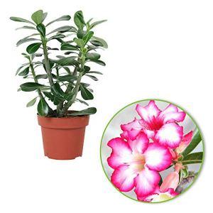 Adenium obesum | Rose du désert | Plante d'intérieur fleurie | Hauteur 30-35 cm | Pot Ø 14 cm