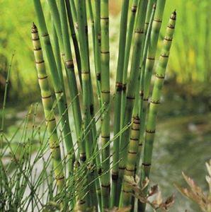 Equisetum japonicum | Prêle japonaise | Plantes aquatiques | Hauteur 80cm | Pot Ø 9cm