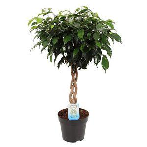 Ficus benjamina «Danielle» | Plante tropicale à tige tressée | Hauteur de livraison 65-75cm | Pot de ø 17cm