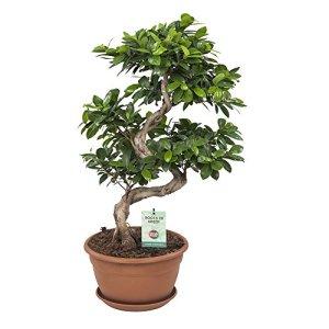 Ficus Ginseng Bonsai | Plantes vertes | Plante interieur | Hauteur 70 cm | Pot 27 cm | Cadeau Japon