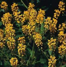Herb Woad Isatis Tinctoria Lot de 50 graines d'herbes aromatiques