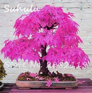 Lot de 30 graines d'érable bleu rare pour bonsaï – Pot de fleurs d'érable japonais – Pour balcon, maison, jardin