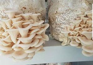 Mycélium pour cultiver des champignons à la maison ou dans un commerce – 100 g