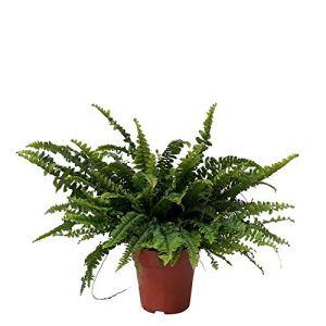 Nephrolepis exaltata»Green Lady» | Fougère de Boston | Plante verte tropicale | Hauteur 30-35cm | Pot Ø 12cm